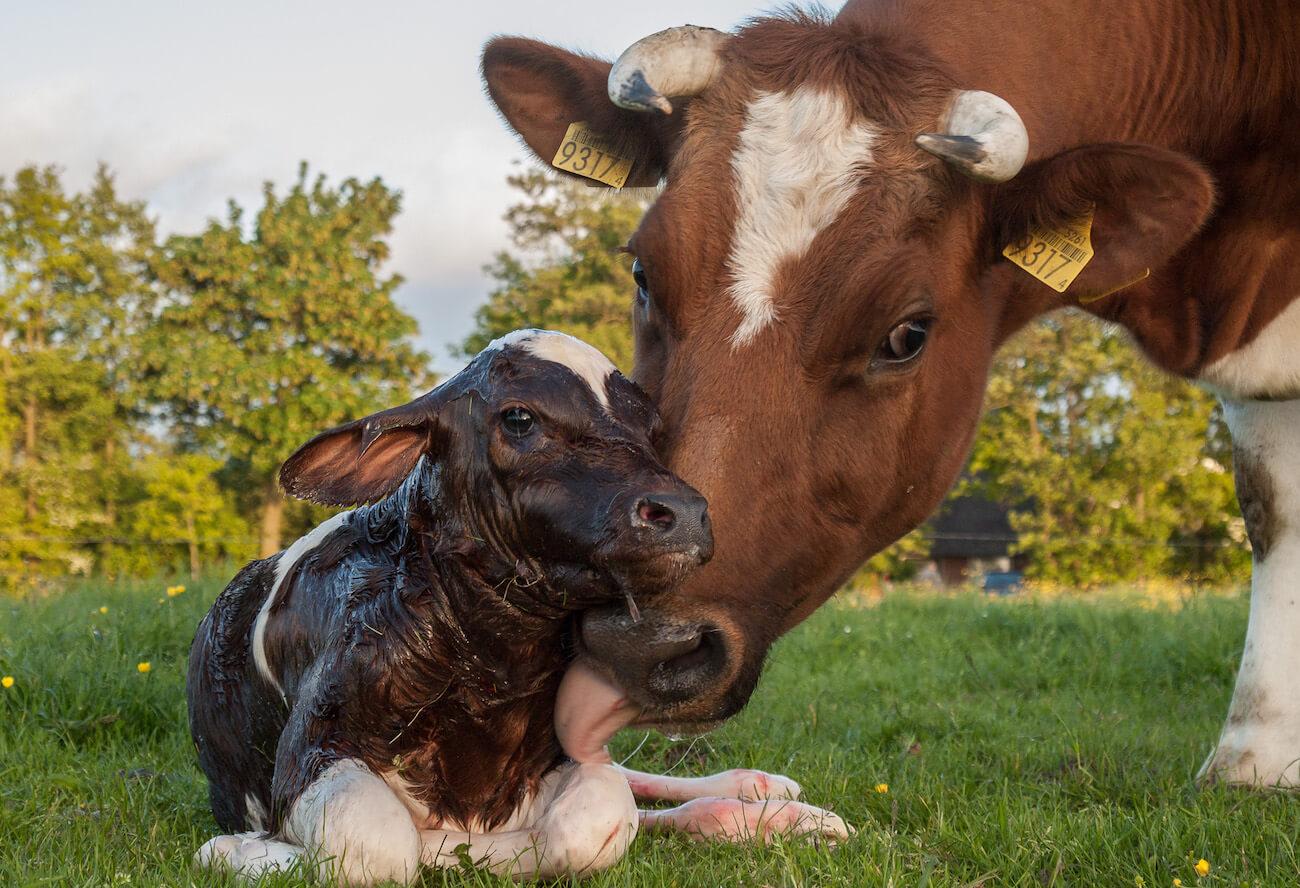 Kühe haben enge Beziehung zu ihrem Kalb