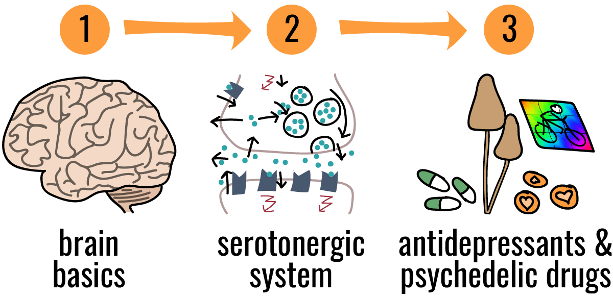 You can't understand psychedelic drugs and antidepressants without understanding the serotonergic system in the brain first
