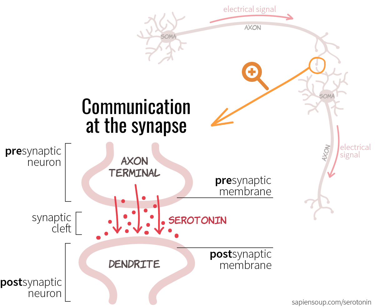 Chemical communication at the synapse between presynaptic and postsynaptic membrane