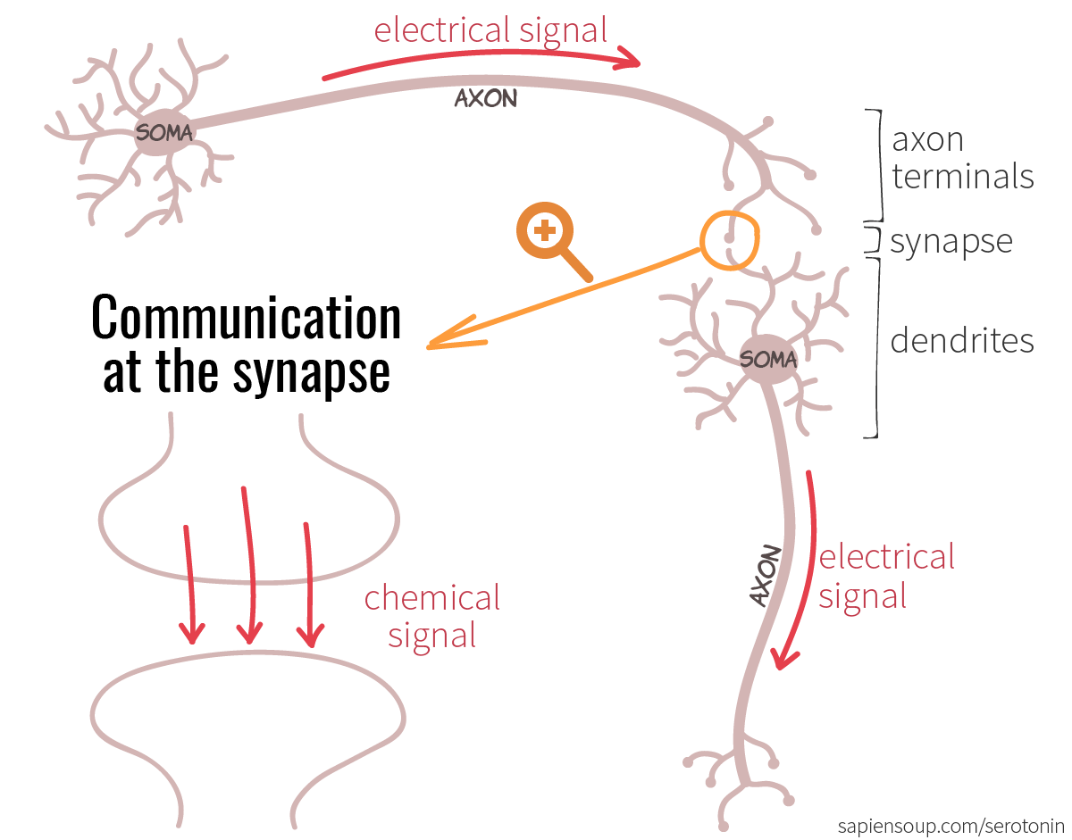 Neuron with its soma, dendrites, axon and axon terminals. Electrical vs. chemical signal at the synapse.