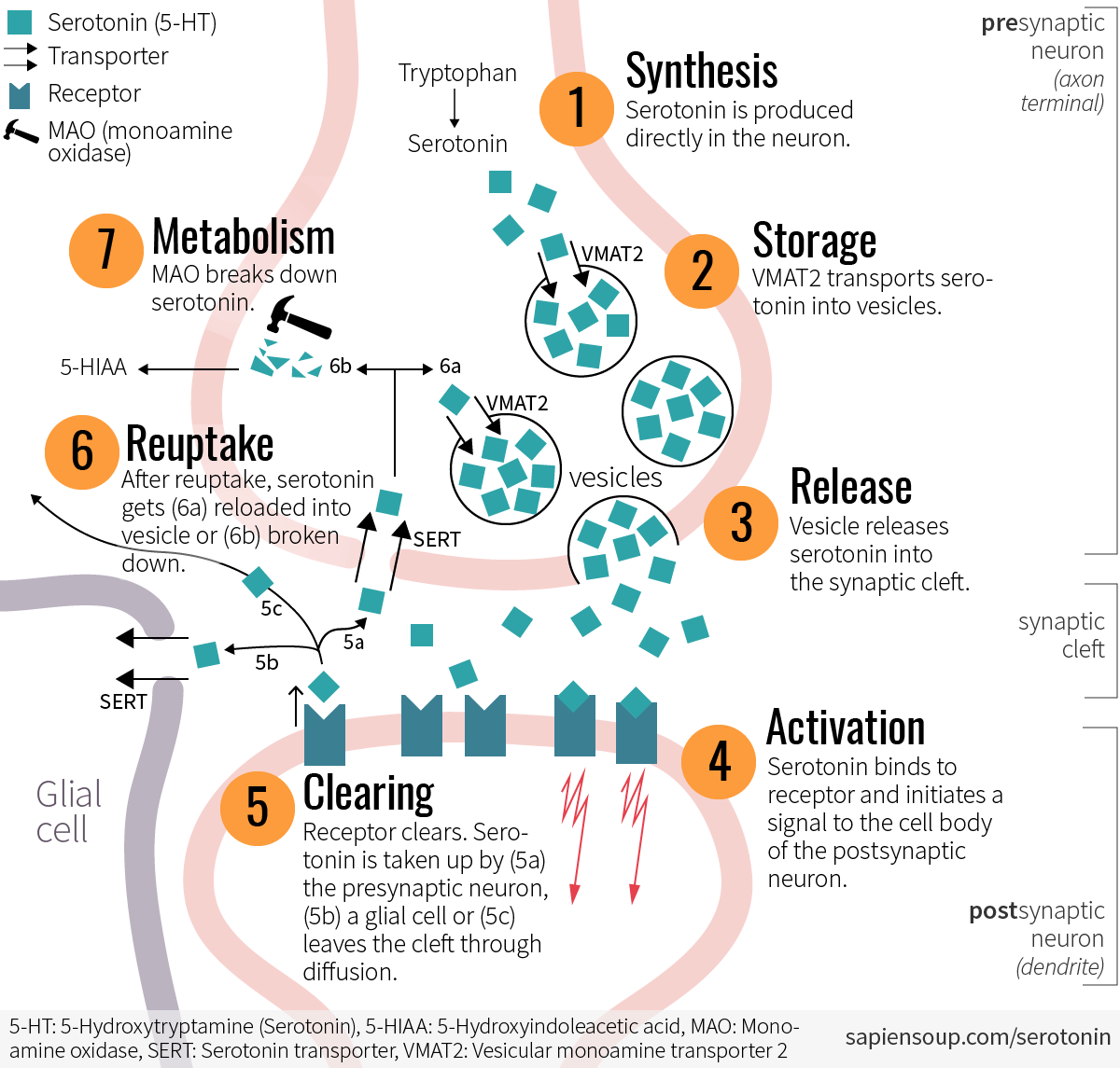 Lifecycle of serotonin at the synapse: synthesis, storage, release, receptor activation and clearing, reuptake and metabolism